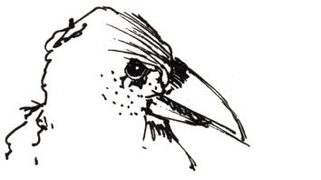 Rabe – Tuschescribble