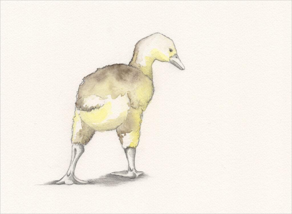 Zeichnung – Gössel aufgerichtet