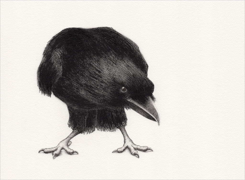 """Zeichnung – """"corvus curiosus"""""""